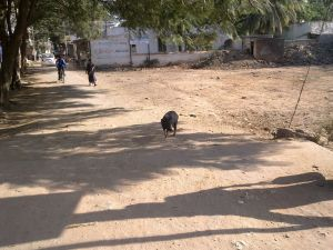 Pigs are common sight in Ranebennur